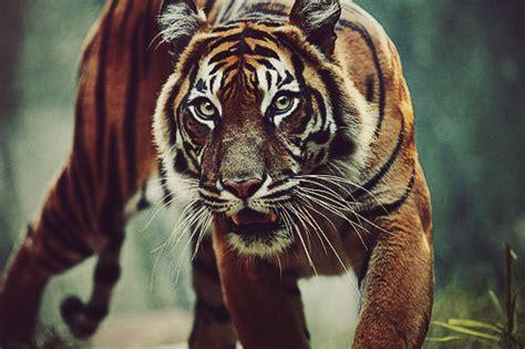 wallpaper tumblr tiger tumblr photography tumblr photography photo 29376595