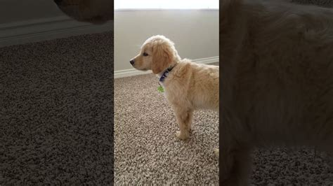 howling golden retriever golden retriever puppy howling like a big