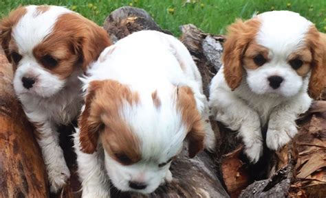 king charles cavalier puppies for sale mn what of is a blue nose pitbull cavalier king charles spaniels for sale in