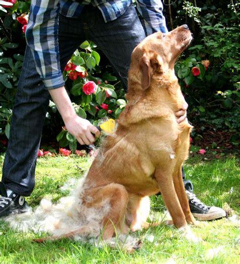 shedding labradors   moulting season