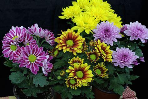 Chrysanthemum by Chrysanthemen Pflege