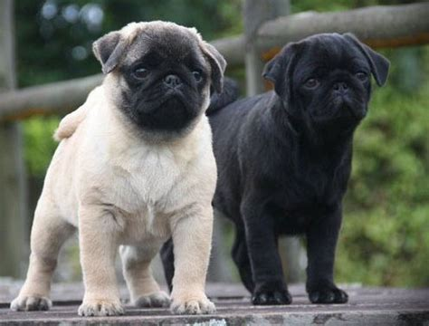 Cubbie Colar White by Pics For Gt Fawn Pugs Puppies