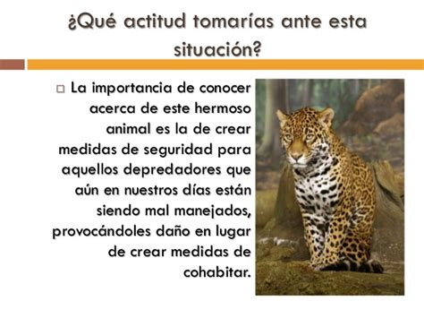 imagenes de jaguar en peligro de extincion especie en peligro de extinci 243 n el jaguar