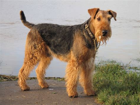 Dog Photo: Airedale Terrier Dog