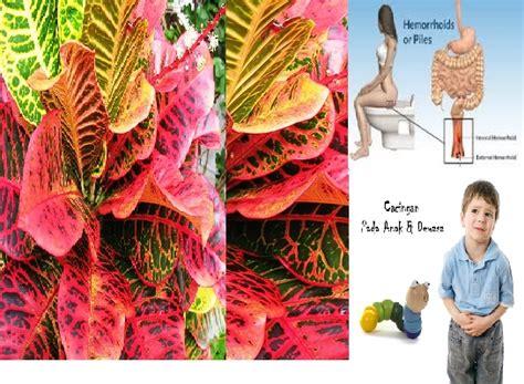 ajaib tanaman  walaupun beracun tapi berkhasiat