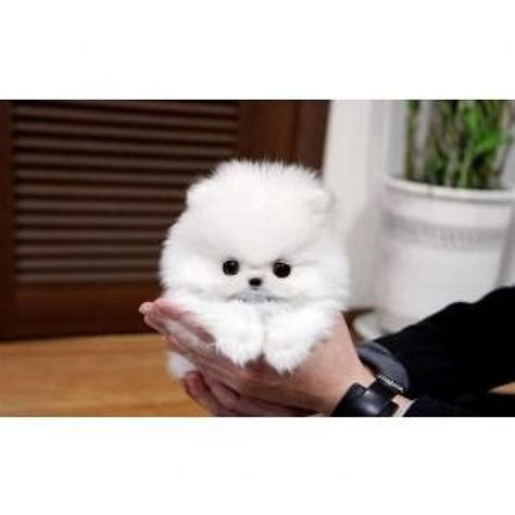 pictures of micro teacup pomeranians tiny teacup pomeranian puppies available for adoption offer