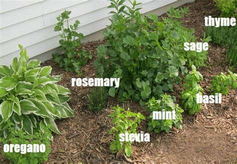 types of garden herbs the types of comment herbs