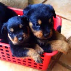rottweiler puppies pittsburgh rottweilers rottweilers for sale heads world class rottweiler pups