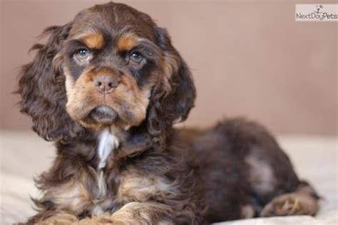 cocker spaniel puppies for sale in missouri cocker spaniel puppy for sale near st joseph missouri 07a1da02 e141