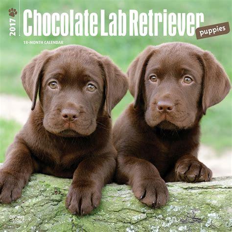 chocolate retriever puppy chocolate labrador retriever puppies 2017 wall calendar 9781465055927 calendars