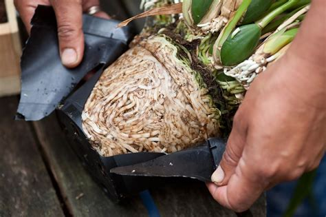 how to repot an orchid gardenersworld com