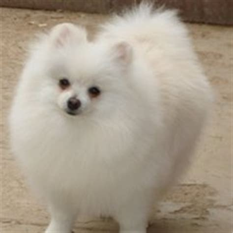 pomeranian puppies for sale ny pomeranian dogs price