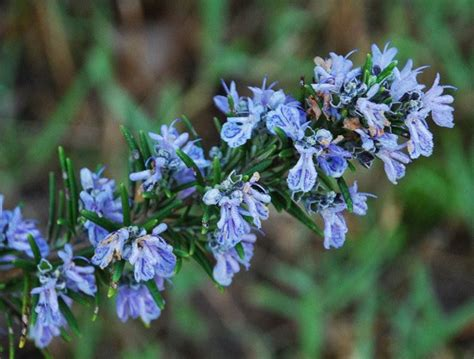 fiori di rosmarino olio di rosmarino oli essenziali olio di rosmarino