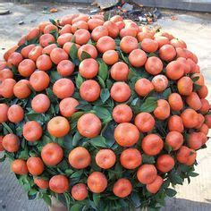 Bibit Benih Seeds Buah Markisa Oren Orange Fruit 1000 images about bonsai fruit on bonsai bonsai trees and bonsai fruit tree