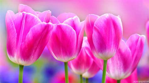 gambar bunga tulip warna berbeda gambar animasi gif