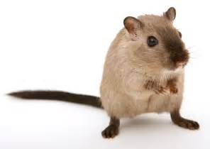 What we do remove rats about rats in south florida rat damage disease