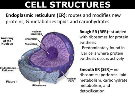 carbohydrates in the cell 03 cell structures