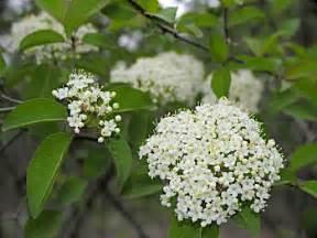 blackhaw viburnum prunifolium
