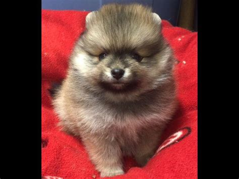 pomeranian breeders akc pomeranian for sale by avalon poms american kennel club