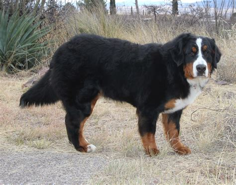 bernese mountain utah bernese mountain dogs utah