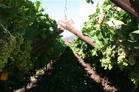 pruning grapes archives free grape growing tips and help