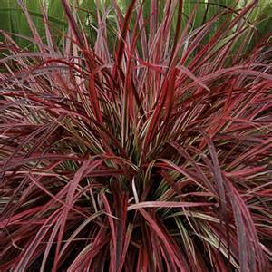 purple red fountain grass hello hello plants garden