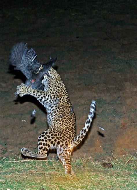 Leopard Bird excellent wildlife and nature pictures