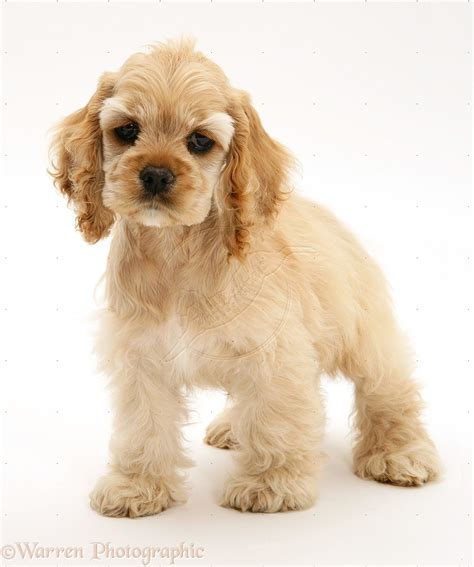 American Cocker Spaniel History, Personality, Appearance ...