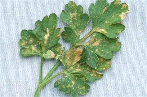basilico in vaso malattie coltivazione prezzemolo aromatiche come coltivare il