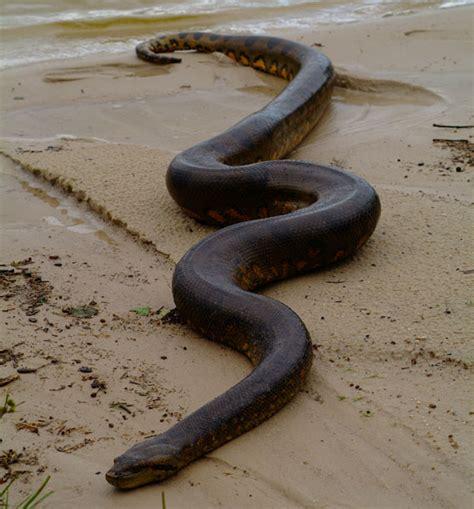 amazon river amazon wildlife pic of the month anaconda aqua expeditions