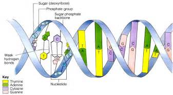 3 3 7 1 dna structure i am so