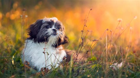 when do shih tzu puppies open their the best breeds for apartment living realtor news dogs by breed