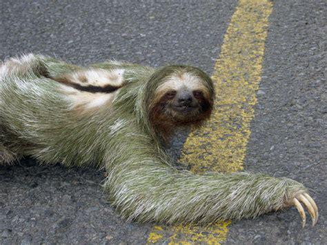 sloth going to the bathroom sloth