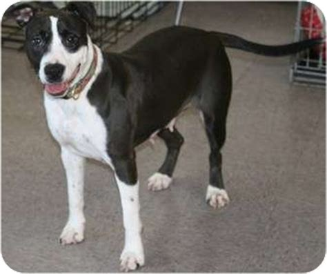 pitbull border collie mix puppy ladybug adopted dfw tx border collie pit bull terrier mix