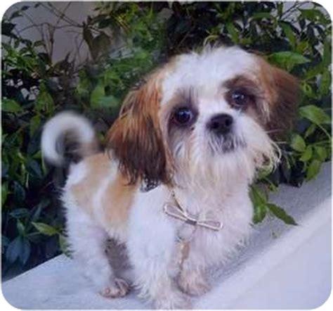 shih tzu bichon mix rescue adopted puppy los angeles ca shih tzu bichon frise mix