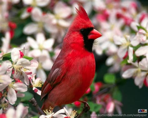 cute cardinal wild birds wild animal and birds