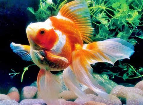 akuarium ikan mas koki design cara memelihara ikan hias di akuarium bibitbunga com