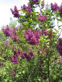 lilacs bush syringa vulgaris common lilac