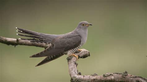 common cuckoos birds animals eden channel