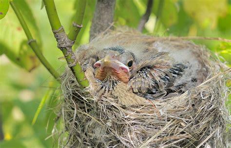 baby cowbird diet disposts