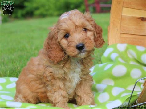 cockapoo puppies for sale in pa cockapoo puppies for sale in de md ny nj philly dc and baltimore
