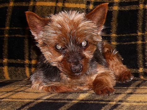 yorkie rescue houston yorkie rescue houston dogs we can help you to stop it all this guide is the