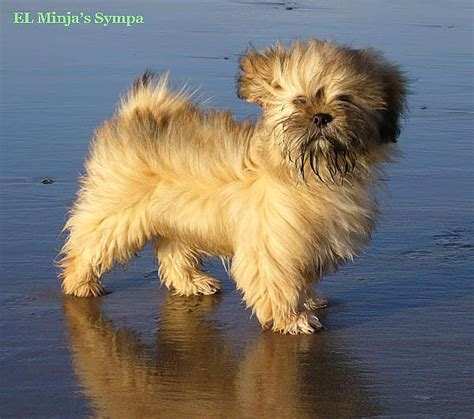 lhasa apso puppy lhasa apso puppies for sale and puppy pictures