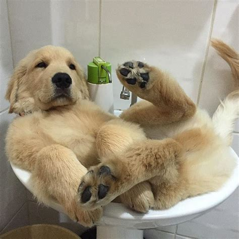 how often can you bathe a golden retriever 289 best images about golden retrievers on the