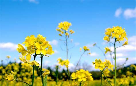 grow mustard seeds