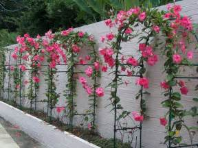 Mandevilla Trellis Annual Or Perennial Vines On Pinterest Climbing Vines Trellis And Plants