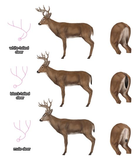 deer breeds how to draw animals deer species and anatomy