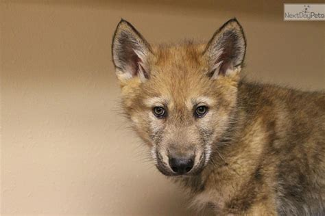 wolf hybrid puppies adoption wolf hybrid puppies for sale and dogs for adoption from wolf hybrid breeds picture