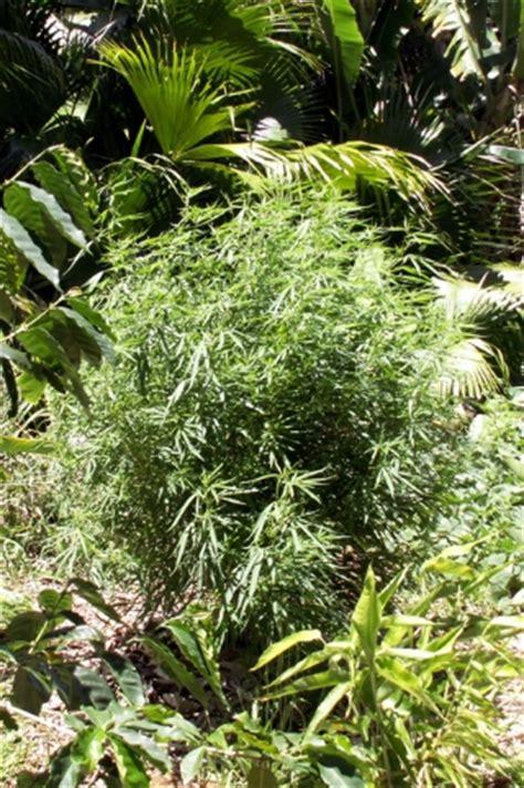 Planter Des Fougères by Zamal Chanvre Indien Cannabis Flore 238 Le De La R 233 Union 974