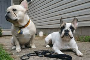 Why Do Bulldogs Shed So Much by All About Frenchies Bulldog Tips Information